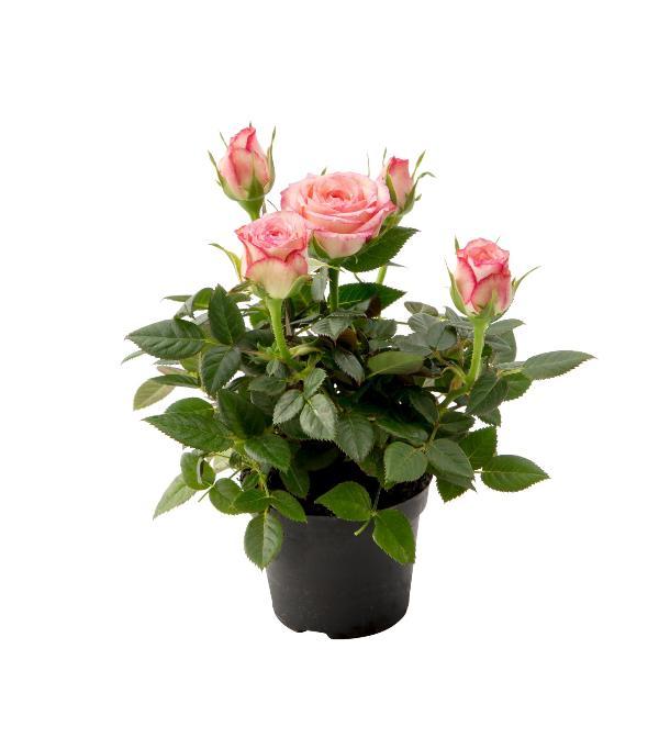 Комнатные Цветы Из Голландии Интернет Магазин